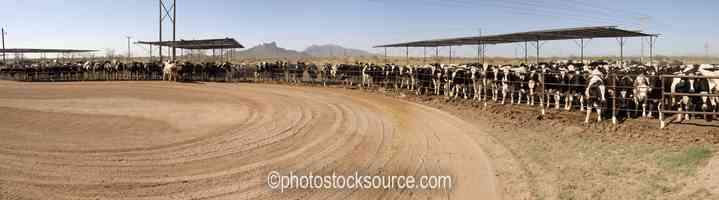 Photo of Stockyard Cattle